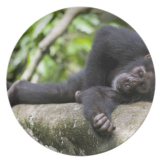 Africa, Uganda, Kibale Forest Reserve, Young Plate