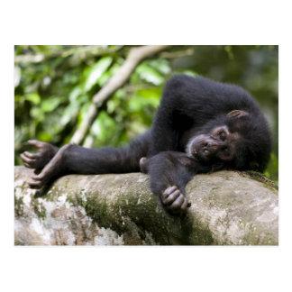 Africa, Uganda, Kibale Forest Reserve, Young Postcard