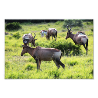 African Antelope on Safari in South Africa Photographic Print