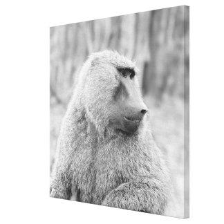 African baboon canvas print