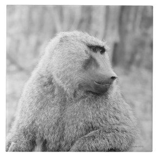 African baboon tile