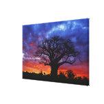 African baobab tree, Adansonia digitata, 2 Stretched Canvas Prints