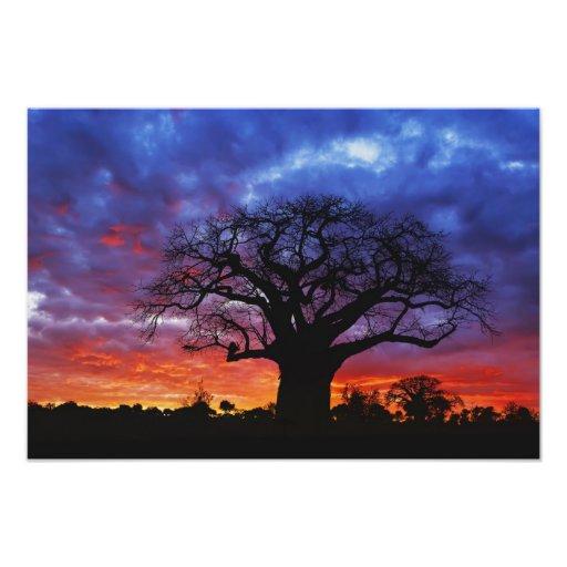 African baobab tree, Adansonia digitata, 2 Photo Art