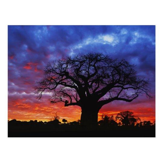 African baobab tree, Adansonia digitata, 2 Postcard