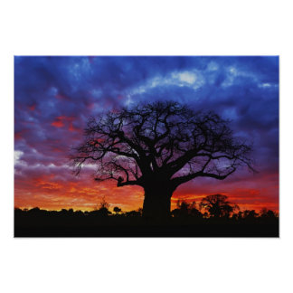 African baobab tree Adansonia digitata 2 Posters