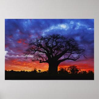African baobab tree, Adansonia digitata, 2 Posters