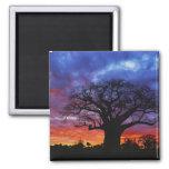 African baobab tree, Adansonia digitata, 2 Square Magnet