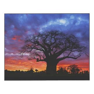 African baobab tree, Adansonia digitata 2