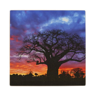 African baobab tree, Adansonia digitata, 2 Wood Coaster
