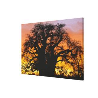 African baobab tree, Adansonia digitata, Canvas Print
