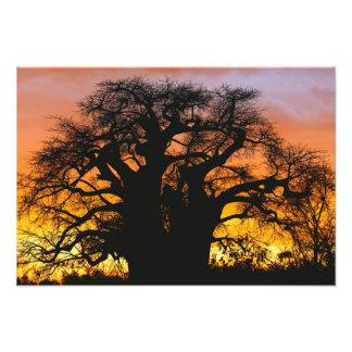 African baobab tree, Adansonia digitata, Photo Print