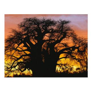 African baobab tree Adansonia digitata Post Cards