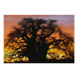 African baobab tree, Adansonia digitata, Poster