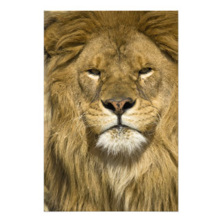 African Barbary Lion, Panthera leo leo, one of Art Photo