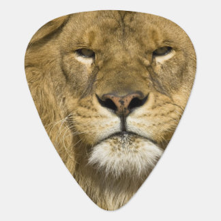 African Barbary Lion, Panthera leo leo, one of Guitar Pick