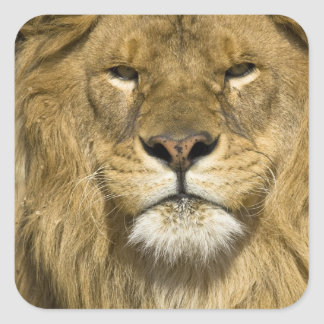 African Barbary Lion, Panthera leo leo, one of Square Sticker