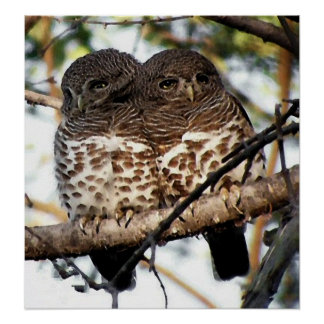 African Barred Owl Bird Poster Print