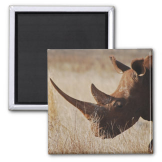 African black rhino with big horns square magnet