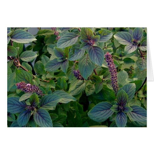 African Blue Basil Greeting Card