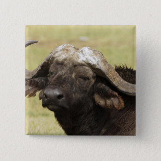 African Buffalo, Syncerus caffer, standing in 15 Cm Square Badge