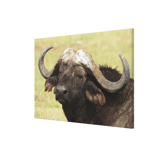 African Buffalo, Syncerus caffer, standing in Stretched Canvas Print
