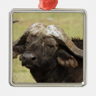 African Buffalo, Syncerus caffer, standing in Christmas Ornament