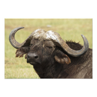 African Buffalo, Syncerus caffer, standing in Photographic Print