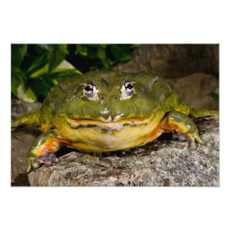 African Burrowing Bullfrog, Pyxicephalus 2 Photographic Print