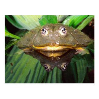 African Burrowing Bullfrog Pyxicephalus 2 Postcard