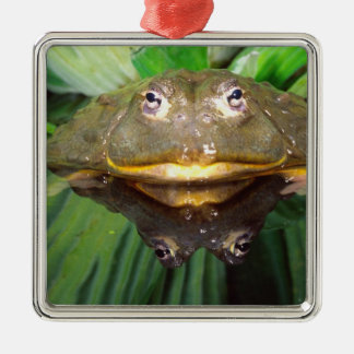 African Burrowing Bullfrog, Pyxicephalus 2 Silver-Colored Square Decoration
