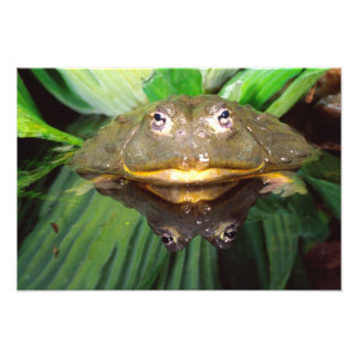 African Burrowing Bullfrog, Pyxicephalus Photographic Print