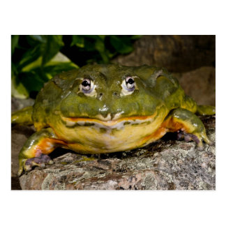 African Burrowing Bullfrog, Pyxicephalus Postcard