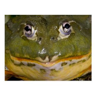African Burrowing Bullfrog Pyxicephalus Post Cards