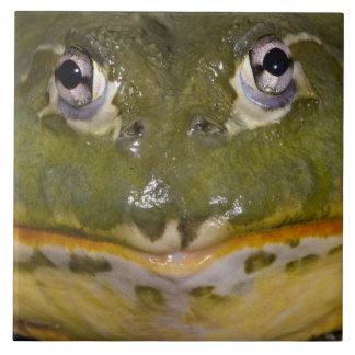 African Burrowing Bullfrog, Pyxicephalus Tile