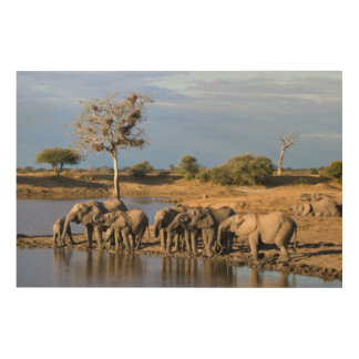 African Bush Elephant (Loxodonta Africana) Herd Wood Print