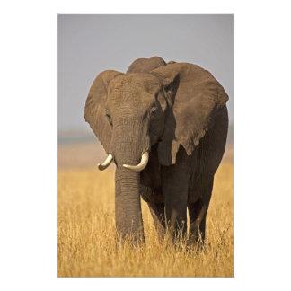 African Bush Elephant Loxodonta africana) on Art Photo