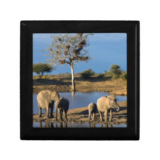 African Bush Elephants (Loxodonta Africana) Gift Box
