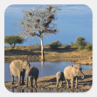 African Bush Elephants (Loxodonta Africana) Square Sticker