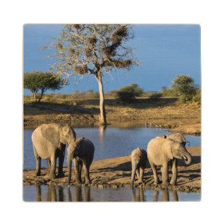 African Bush Elephants (Loxodonta Africana) Wood Coaster