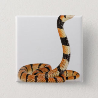 African coral snake (Aspidelaps lubricus) 15 Cm Square Badge