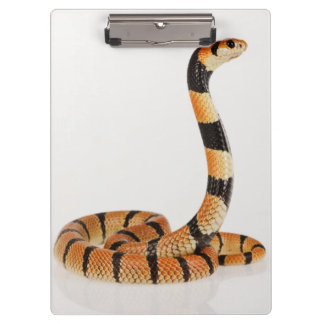 African coral snake (Aspidelaps lubricus) Clipboard