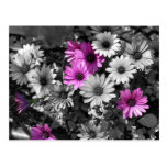 African Daisies BW Floral Postcard