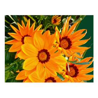 African Daisies Postcard