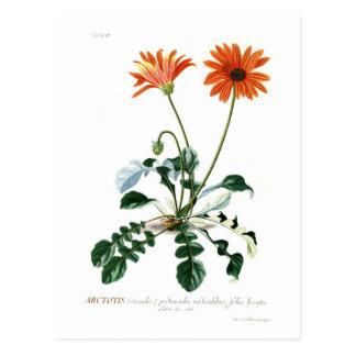 African Daisy Postcard