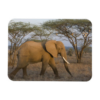 African Elephant at Samburu NP, Kenya. Rectangular Photo Magnet