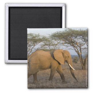 African Elephant at Samburu NP, Kenya. Square Magnet