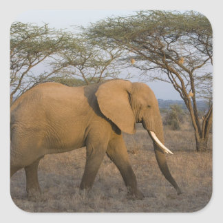 African Elephant at Samburu NP, Kenya. Square Sticker