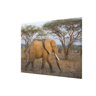 African Elephant at Samburu NP, Kenya. Stretched Canvas Prints