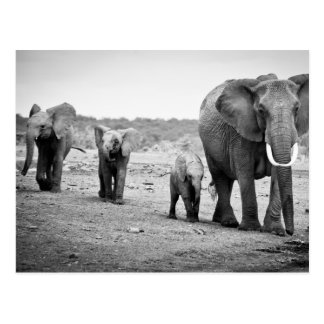 African Elephant & Calves | Kenya, Africa Postcard