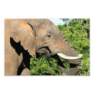 African Elephant eating Photo Print